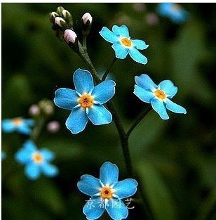 50 Seeds Woodland forget-me-not grass seeds free shipping. Flower Goddess Seeds  A++