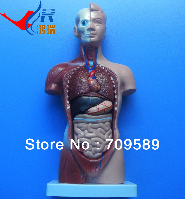 Medical Torso Model 26cm with 15 Parts, Anatomical Torso Model 42cm male 13 torso model torso anatomical model of medical biological teaching aids equipment