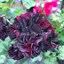 LAND MIRACLE 5PCS Rare Geranium Seeds Black Rose Pelargonium Perennial Flower Seed Hardy Plant Bonsai Potted Plant Free Shipping(China)