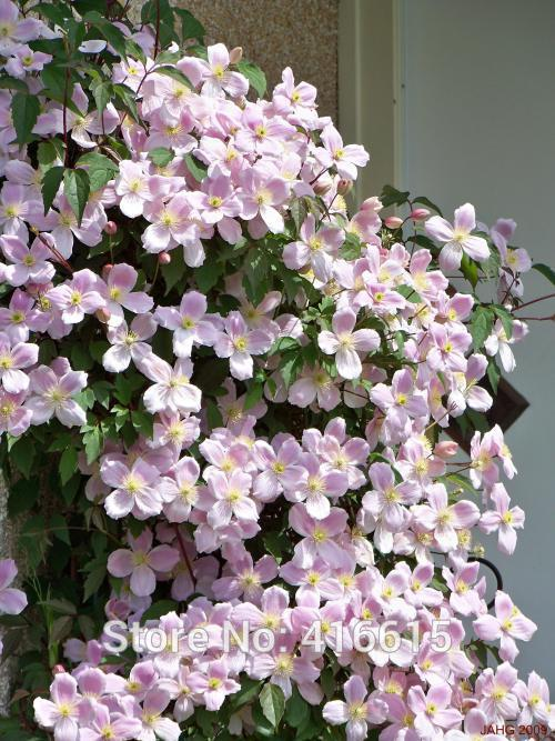 Aliexpress Clematis Seeds Montana Mayleen Pink Vine Flowers Plant Seed Vines Climbing Plants Twining Scandent From Reliable
