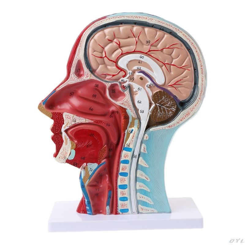 Human Anatomical Half Head Face Anatomy Medical Brain Neck Median Section Study Model Nerve Blood Vessel