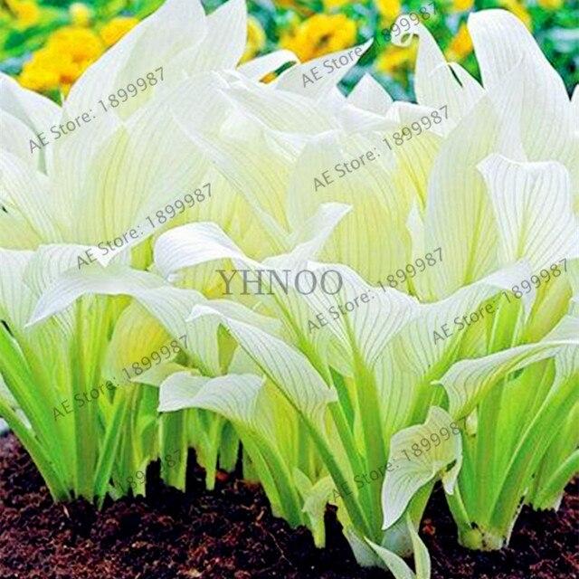 beautiful  Hosta Plants Perennials Lily Flower Shade Hosta Flower  3