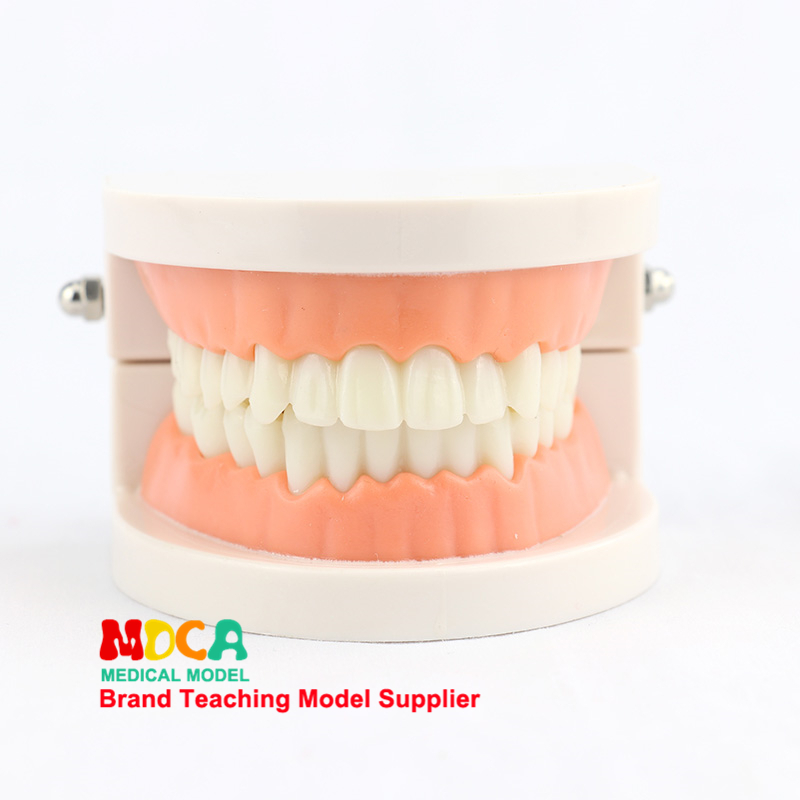 Early Dental Anatomy Model Tooth Care Brushing Instruction Model Oral Health Care Teaching MYC001