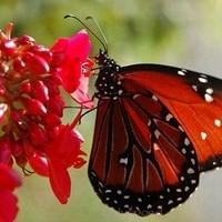 30 Prettiest Caesalpinia Flower Seeds Home Garden Supplies Angela pen bloom A235