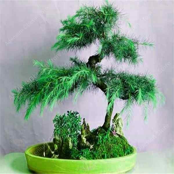 Самые низкие цены! 100% True священный японский кедр дерево бонсай растения ель завод, домашние садики, бесплатная доставка, 50 шт в наборе, бесплатная доставка