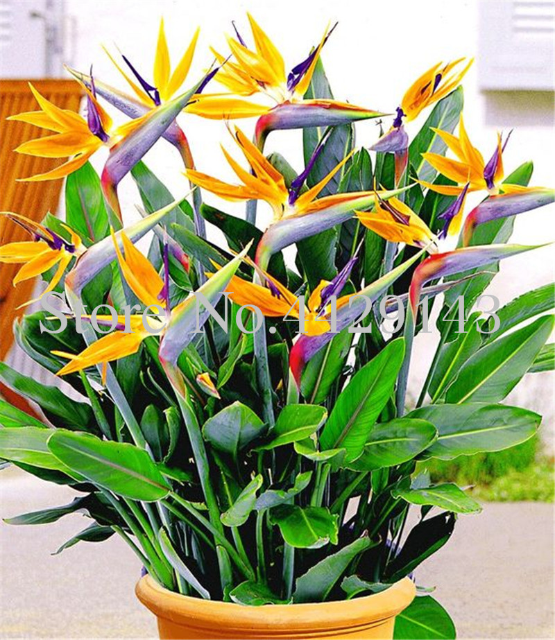 100 Pcs Strelitzia Bonsai Garden Perennials Flower Bird Of Paradise Plant Strelitzia  Indoor Bonsai Orchid Flower Blooming Plant(China)