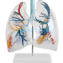 2X Life Size Professional Educational Clear Lung Segment Anatomy Medical Model