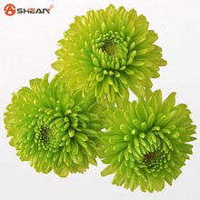 Balcony Potted Rare Green Chrysanthemum Flower Seed  Beautiful Potted Plant Seeds 100 Particles / lot