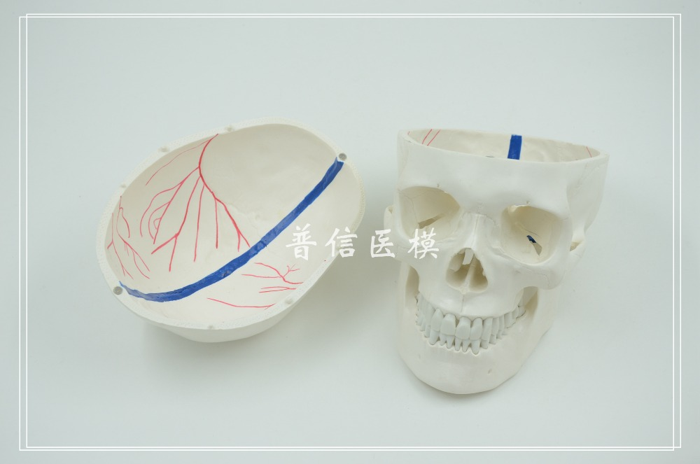 DongYun brand Human skull model Intracranial vascular model Medical Science teaching supplies dongyun brand human kidney anatomical model urinary system medical science teaching supplies