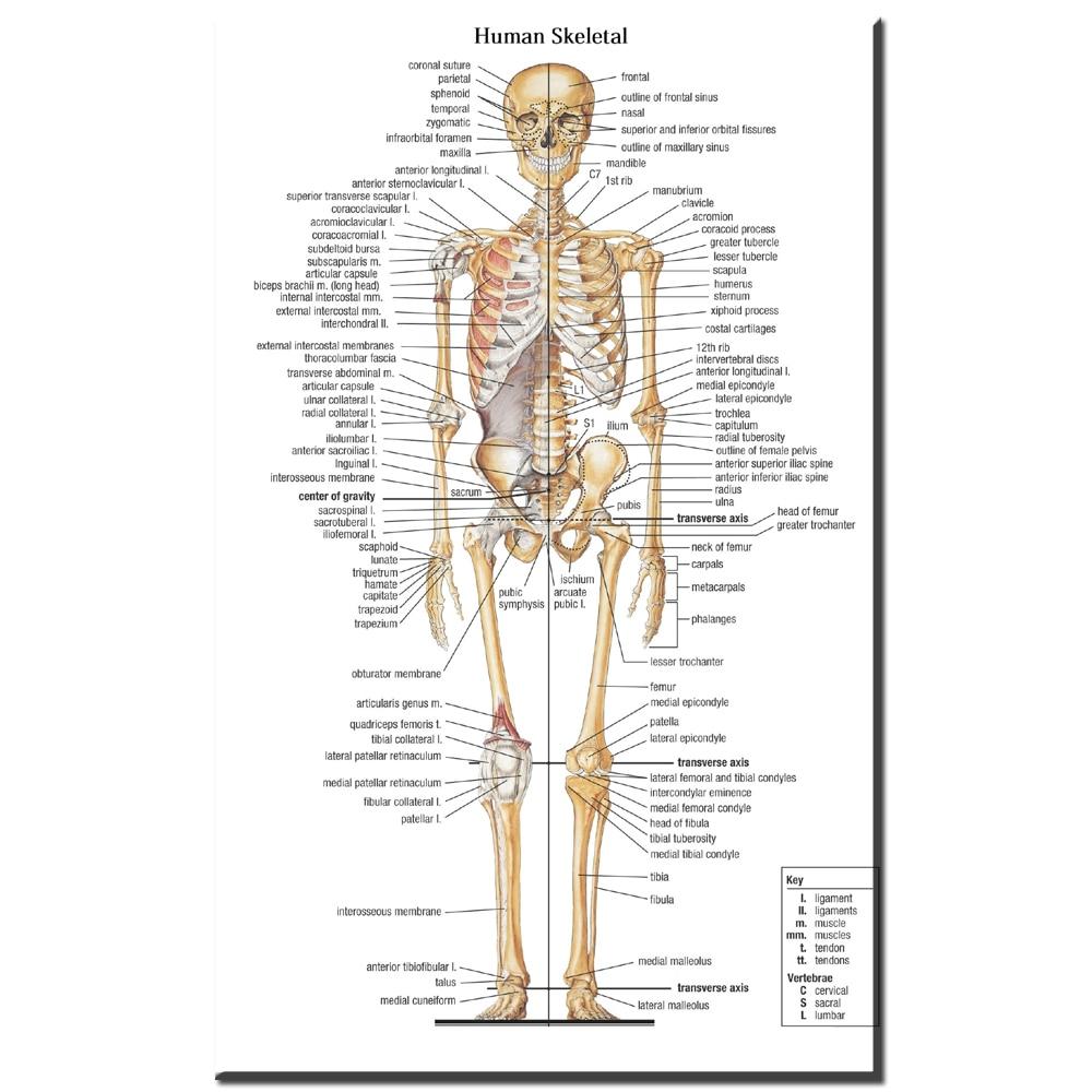 Erfreut Skelett Anatomie Ideen - Menschliche Anatomie Bilder ...