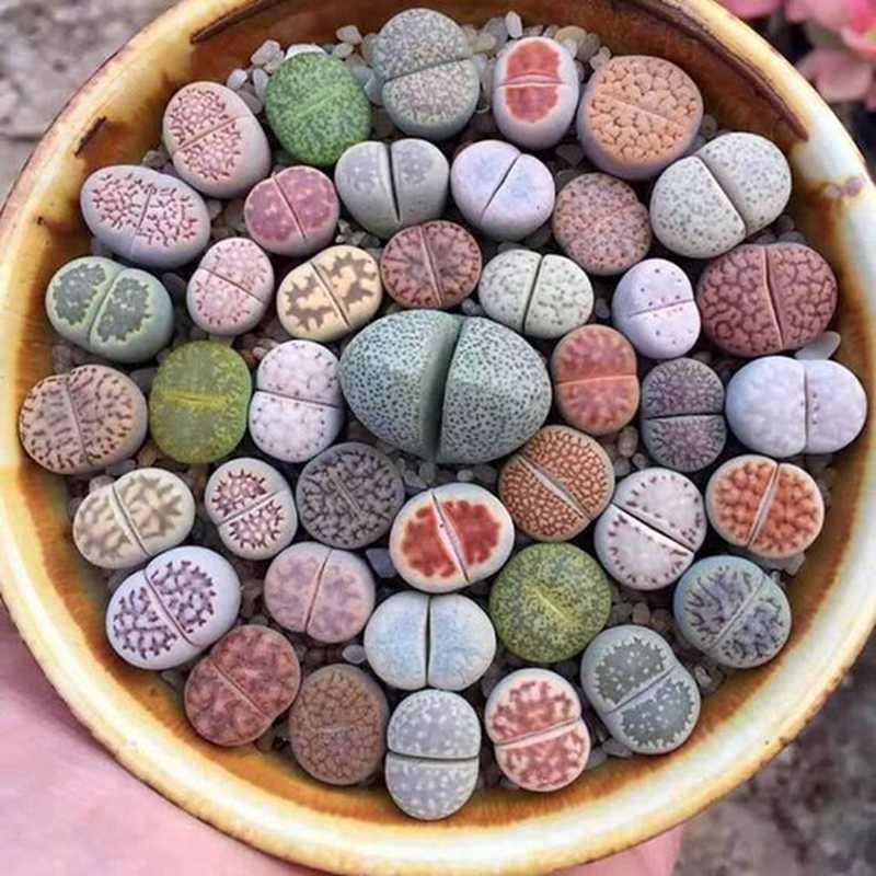 500 ชิ้น/ถุงหายาก Succulent Planter Bonsai ผสม Lithops Potted Pseudotruncatella Living Stone Garden Succulents พืชดอกไม้หม้อ
