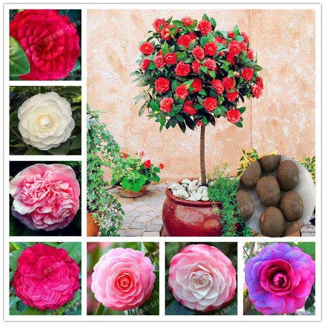 10 unids Camelia, semillas de flor, plantas en macetas de DIY ...