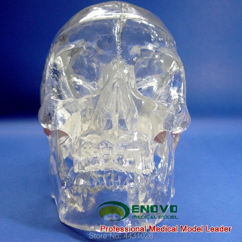 ENOVO Transparent human.skull anatomy model X optical intervention model for neurology of Crystal SkullENOVO Transparent human.skull anatomy model X optical intervention model for neurology of Crystal Skull