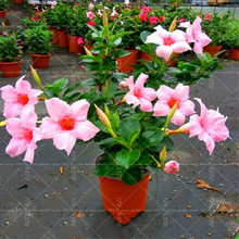100pcs/bag Bonsai Mandevilla Sanderi flower perennial Climbing potted plant for home garden plants