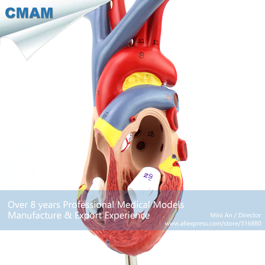 12478 CMAM HEART02 Echt Größe Menschliche Herz Anatomie Modell in 2 ...