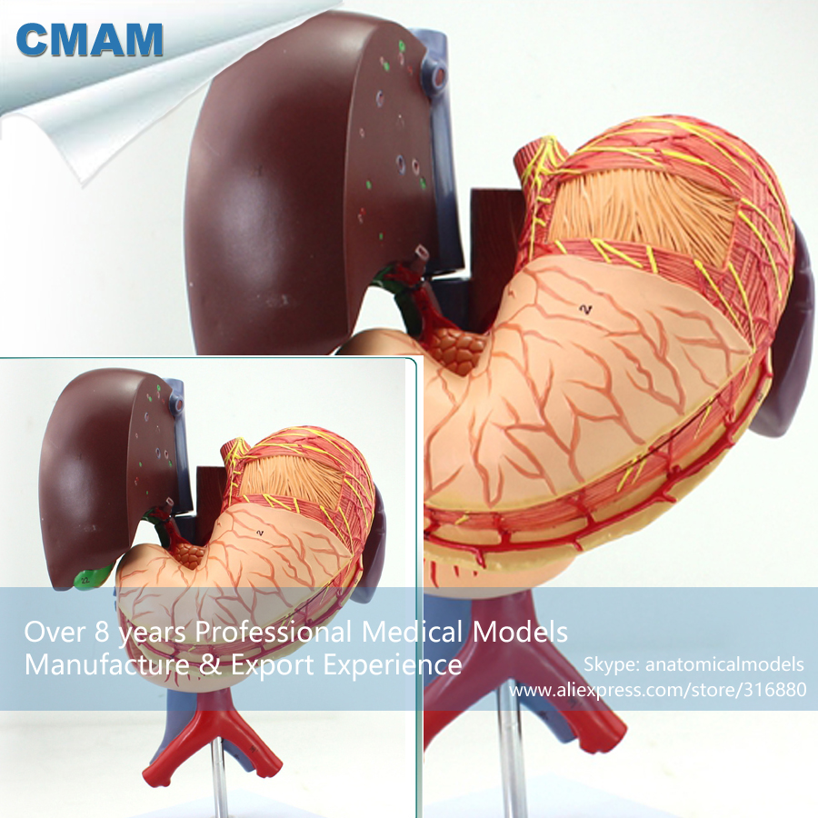 12538 CMAM-VISCERA01 Human Anatomy Stomach Associated of the Upper Abdomen Model in 6 Parts anatomy of a disappearance