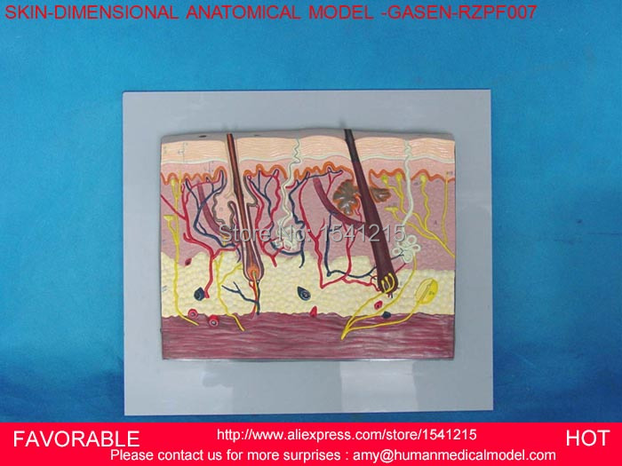 HUMAN ANATOMICAL SKIN SUBCUTANEOUS TISSUE DISSECTION MEDICAL TEACH MODEL SCHOOL HOSPITAL,ANATOMICAL SKIN MODEL-GASEN-RZPF007 human skin tissue structure enlarged model of hair follicle sweat gland enlargement human anatomical skin model gasen rzpf002