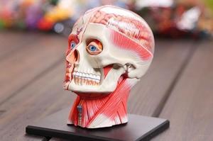 4D Master medical human skull skeleton anatomical model HEAD ANATOMY MODEL dental teeth model with esqueleto humano anatomia(China)