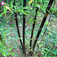 Black timor bamboo seeds Perennial bonsai plants seeds for home garden supplies potted Easy to grow Best packaging 40pcs Bambusa