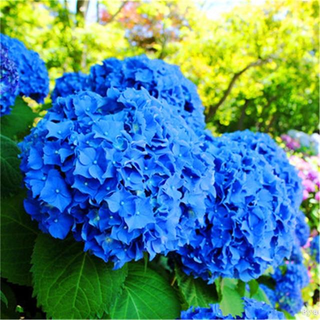 30 pz blu Ortensia fiore Soggiorno all'aperto bonsai fiore Il Tasso di Germinazi