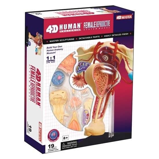 Echtes körper menschliches montage anatomisches modell weiblichen ...