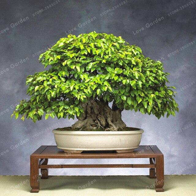 Koreanische Hainbuche Baum Bonsai Sehr Schöne Mini Bonsai Sprießen
