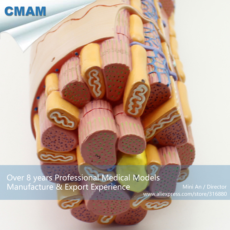 CMAM-HEART17 Smooth Muscle Anatomical Enlarged Medical Anatomical Model joshua boucher regulation of vascular smooth muscle phenotype by notch signaling