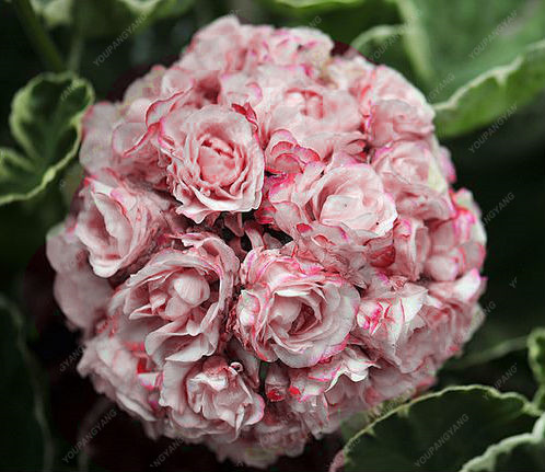 hot sale 30pcs Hot Pink Univalve Geranium Bonsai Perennial Flower Plants Pelargonium Peltatum for home garden