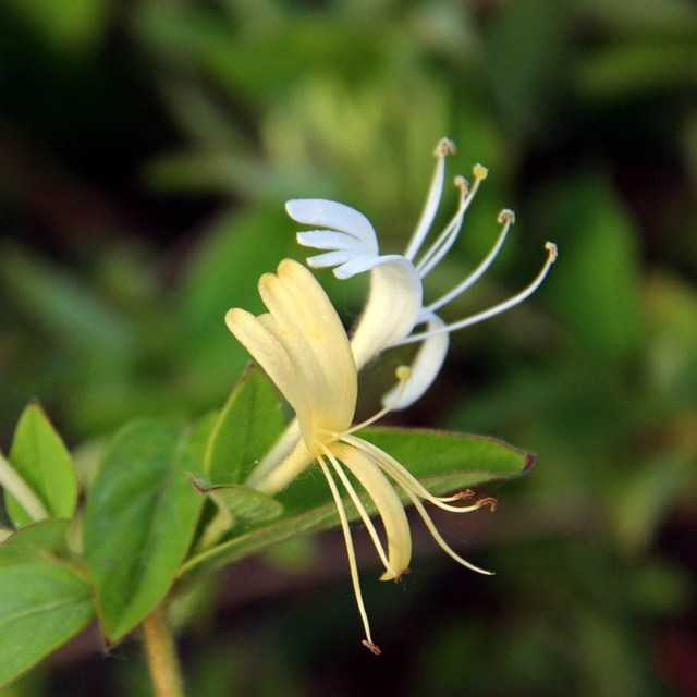 Image result for honeysuckle vine