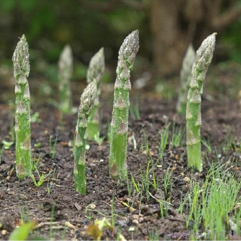 Спаржа bonsais здоровый зеленый овощи домашний сад очень легко 50 шт./упак.