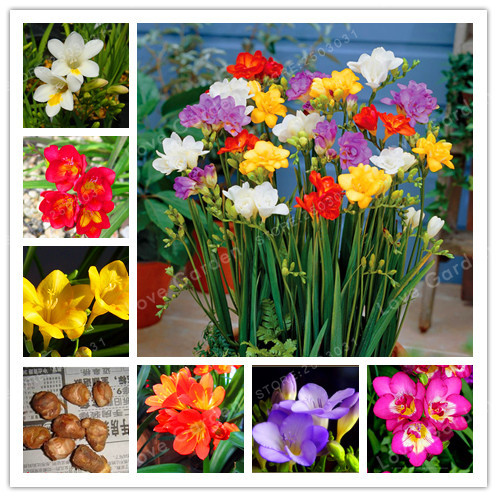 True Freesia Bulbs Indoor Potted Flowers Orchids,Floral Quiet Home Garden Plant Flower Bulbs  (It Is Bonsai) -2 Bulbs