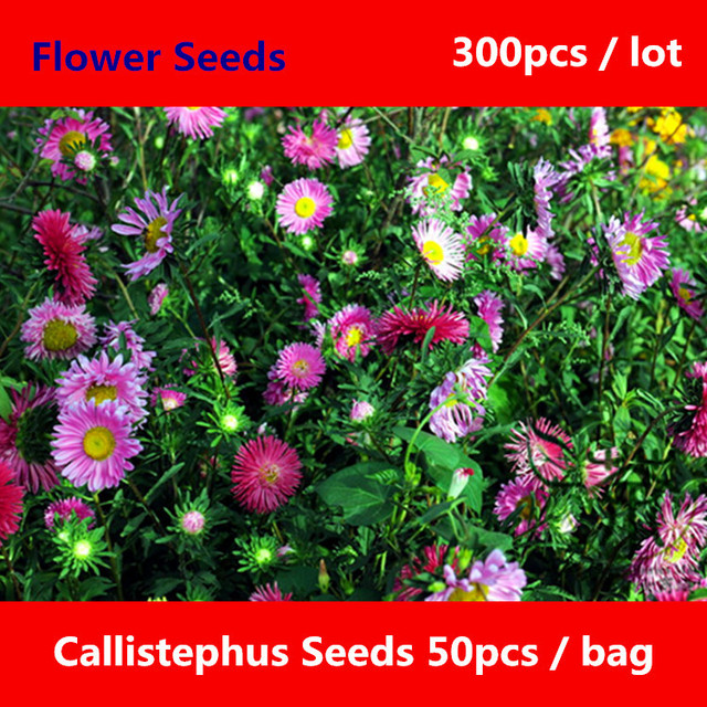 China Aster Callistephus ^ para plantar 300 piezas, embellecimiento ...