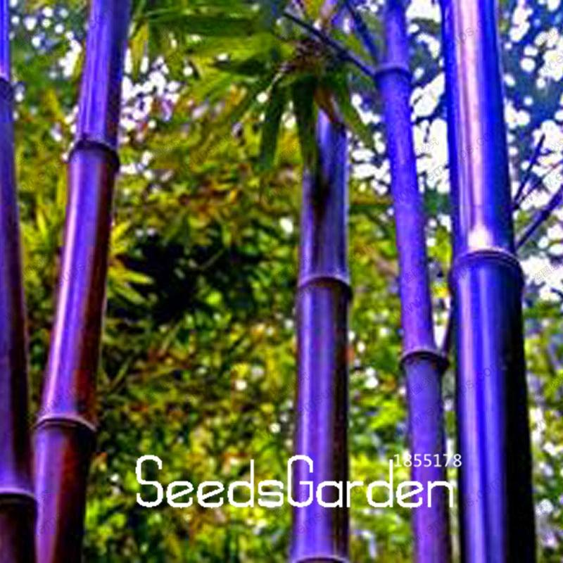 Hot sale rare purple timor bamboo seeds bambusa black for Semi bambu gigante