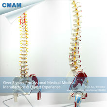 CMAM-SPINE05-1 Human Flexible Spine with femur heads and painted muscles, Life-Size Spine Models