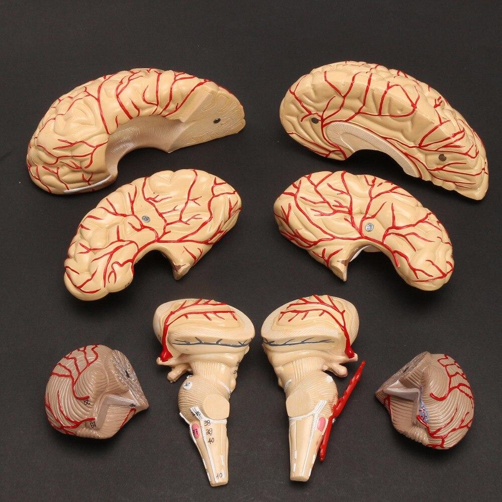 Tamaño de vida humanos anatomía modelo médico conjunto 8 piezas ...