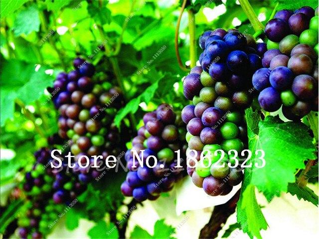 Vendita calda 100 pz Misto Succulente Uva Bonsai Mini Uve Rosse Bonsai Albero Da Frutto FAI DA TE Casa Giardino In Vaso Piante da Frutto albero