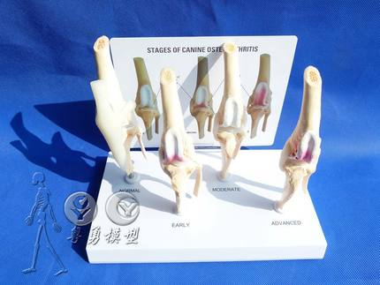 Dog bone knee joint model Model of healthy knee  and diseased joint in dogs Including English instruction manual free shoppingDog bone knee joint model Model of healthy knee  and diseased joint in dogs Including English instruction manual free shopping