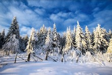 Laeacco Winter Cedar Blue Sky Snow Scene Party Photography Backgrounds Customized Photographic Backdrops For Photo Studio