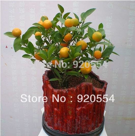 Remarkable Compare Prices On Orange Tree Garden Online Shoppingbuy Low  With Lovely Hot Selling  Pcs Orange Tree Seeds Fruit Seeds Bonsai Seeds Climbing  Plants Diy Home Garden With Extraordinary Bistro Garden Furniture Set Also Garden Huts Edinburgh In Addition Landscape Gardeners East Kilbride And Garden Childrens Swing As Well As Lcd Tv Repair Garden City Mi Additionally Landscaping Garden From Aliexpresscom With   Lovely Compare Prices On Orange Tree Garden Online Shoppingbuy Low  With Extraordinary Hot Selling  Pcs Orange Tree Seeds Fruit Seeds Bonsai Seeds Climbing  Plants Diy Home Garden And Remarkable Bistro Garden Furniture Set Also Garden Huts Edinburgh In Addition Landscape Gardeners East Kilbride From Aliexpresscom