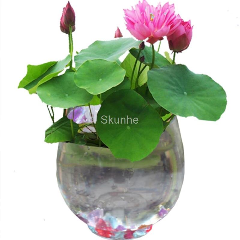 Bowl Lotus White Hibiscus Round bowl lotus bonsai 5/bag