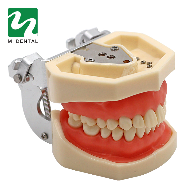 Dental Abnehmbare Standard Zähne Zahn Modell Mit 28 stücke zähne Für Lehre Simulation Modell-in Zahnbleaching aus Haar & Kosmetik bei  Gruppe 3