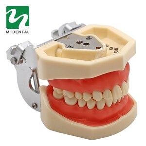 Image 3 - Modèle de dent dentaire Standard amovible avec dents de 28 pièces pour le modèle de Simulation denseignement