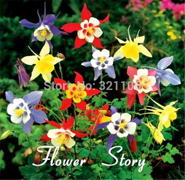 online buy wholesale columbine flower seeds from china columbine, Beautiful flower