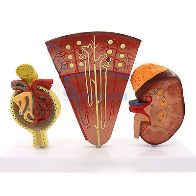 Anatomical Model Kidney Section Nephrons Blood Vessels Kidney Glomerulus Medical Science Model 12461 cmam anatomy23 breast cancer cross section training manikin model medical science educational teaching anatomical models