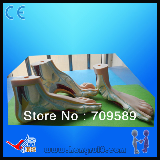 Normal, Flat and Arched Foot, Foot Anatomy Model normal foot flat feet bow foot foot combined anatomical model