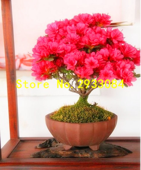 Free Shipping Bonsai Potted Plant Red Flowers E Myrtle Tree Seeds 20 Bag In From Home Garden On Aliexpress Alibaba Group