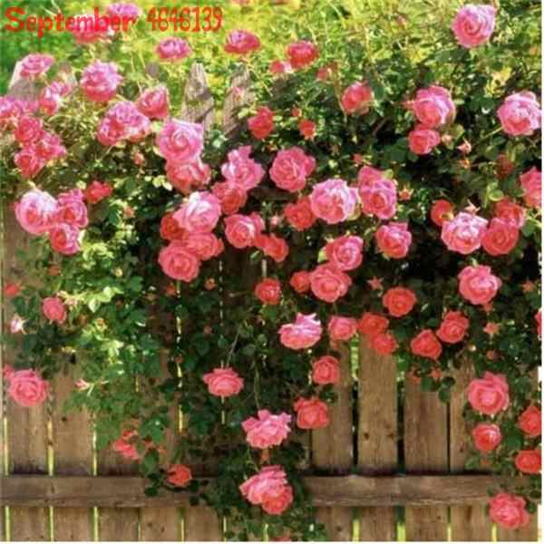 新品中国ローズ木 100 個クライミングバラ盆栽花野生のローザミックス色ビューティーあなた家庭菜園