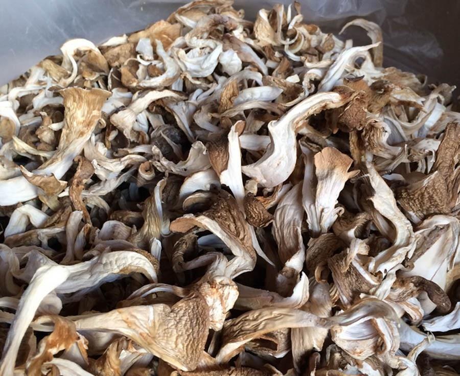 Oyster Mushroom4