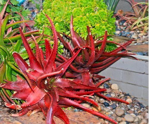 Fashion 100% Natural 20 Pcs Rare Red Aloe Vera Seeds Bonsai Plants Herbs Seed Indoor Planting
