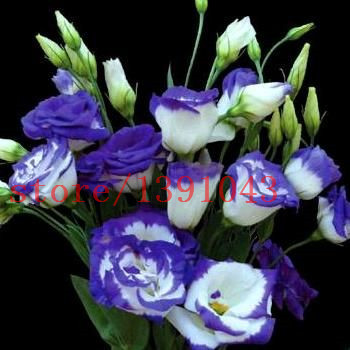 200 pcs Rare eustoma seeds Flower Seeds  Bonsai Seeds for Home & Garden Eustoma grandiflorum  Lisianthus